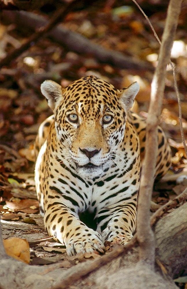 Male Jaguar (Panthera onca), Venezuela