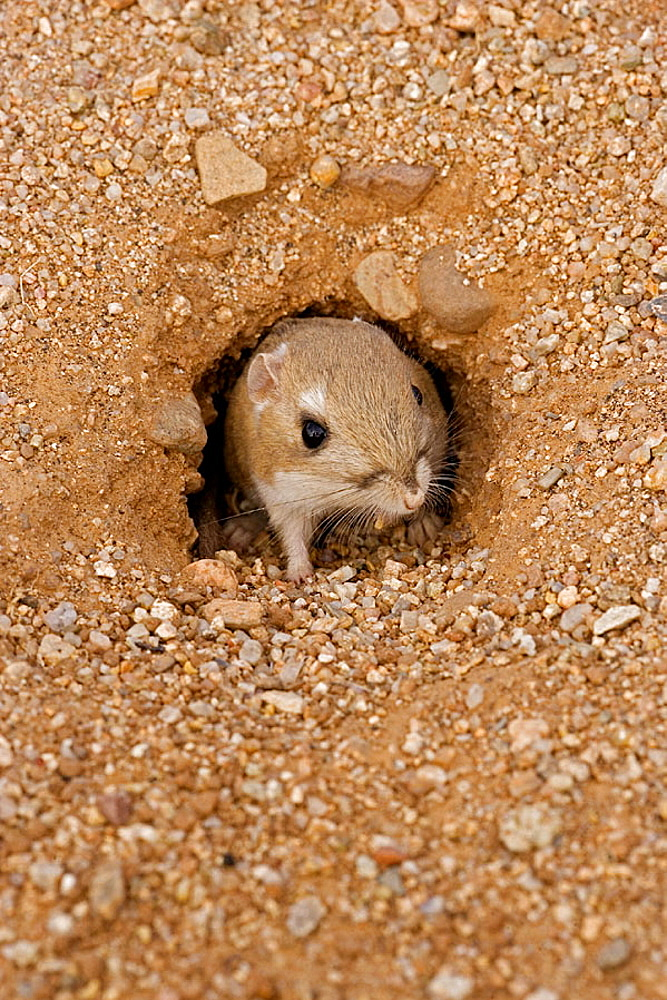 Kangaroo Rat (Dipodomys spp.) - Arizona - Habitat is sandy waste areas-sand dunes-sometimes hard packed soil - Spends days in deep burrows in the sand which it plugs to maintain stable temperature and humidity - Extra holes serve as escape hatches