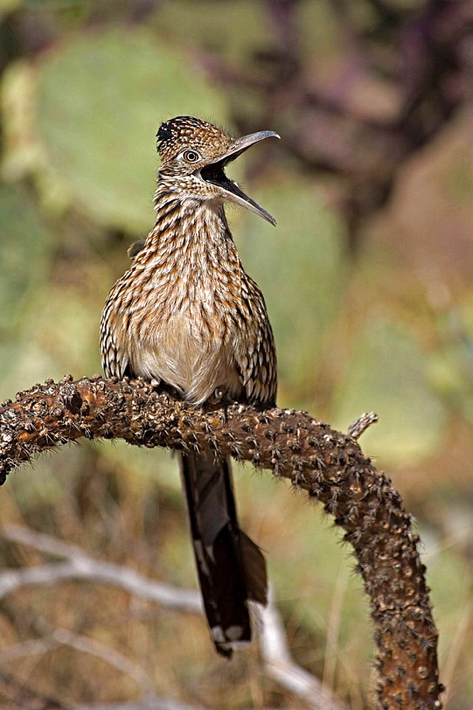 Greater Roadrunner (Geococcyx californianus), Arizona, Perched on cholla cactus branch, With mouth wide open, Large crested terrestrial bird of arid Southwest, Common in scrub desert and mesquite groves, Seldom flies, Eats lizards, snakes and insects