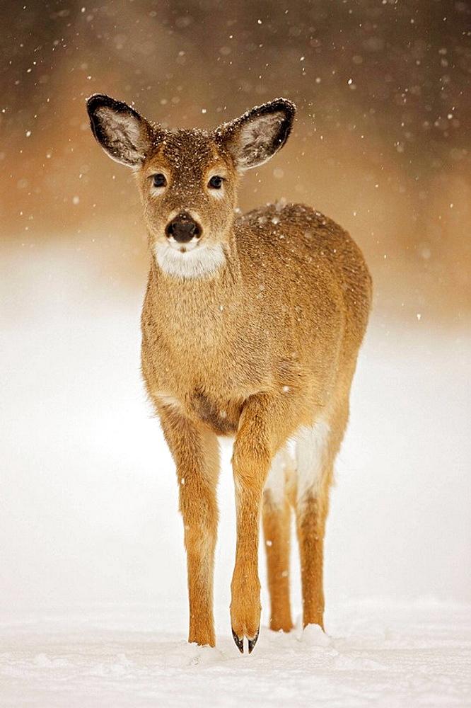 White-tailed Deer (Odocoileus virginianus), New York, USA.