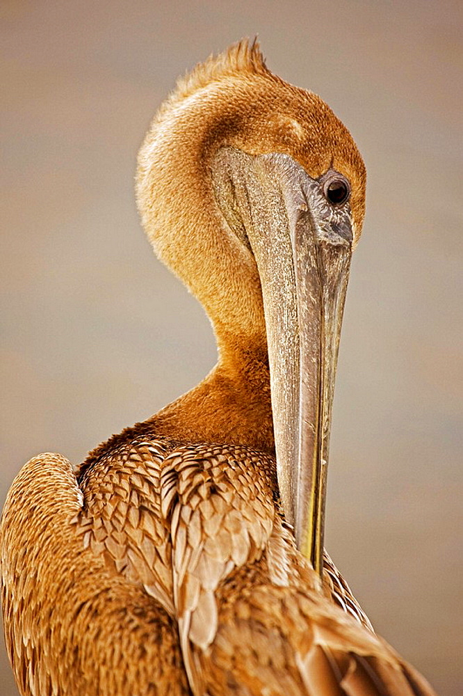 Brown Pelican (Pelecanus occidentalis), Immature, Louisiana, Large dark water bird, Often perches on posts, rocks, boats, Mainly eats rish and crustaceans.