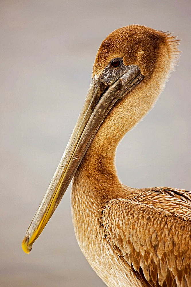 Brown Pelican (Pelecanus accidentalis), Immature, Louisiana, Large dark water bird, Often perches on posts, rocks, boats, Mainly eats rish and crustaceans.