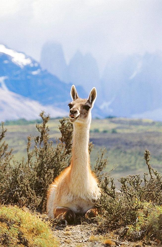 Guanaco (Lama guanicoe), Torre del Paine National Park, Chile