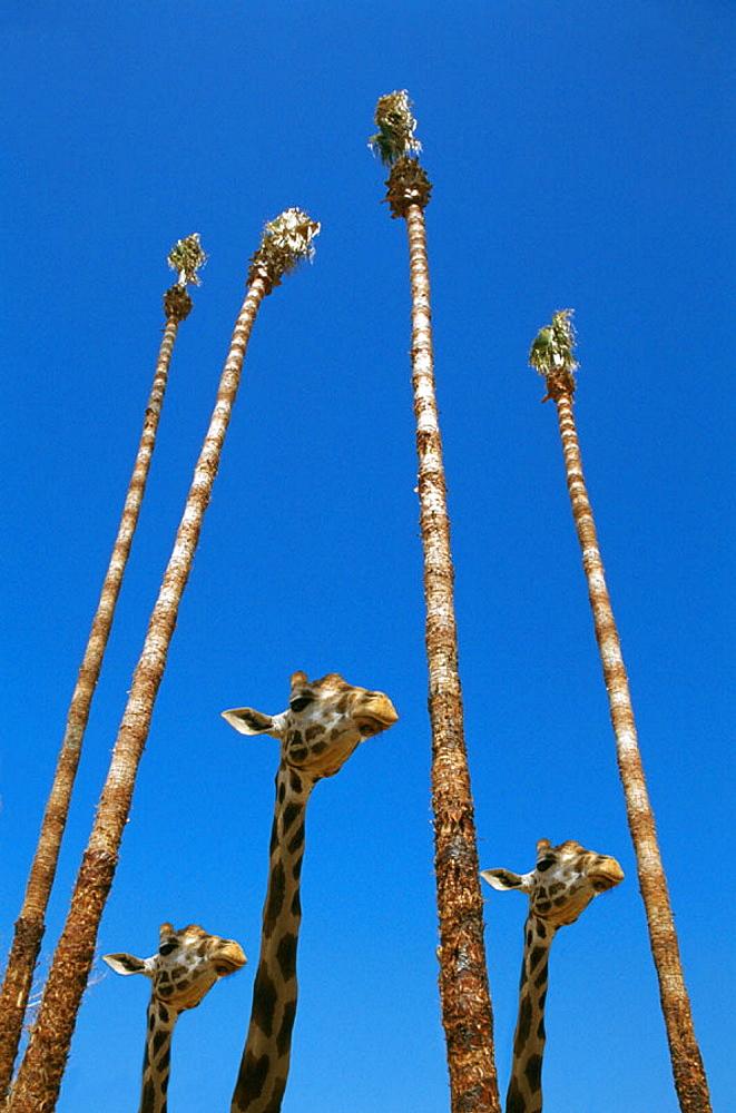 Giraffe (Giraffa camelopardalis), San Diego Zoo, California, USA