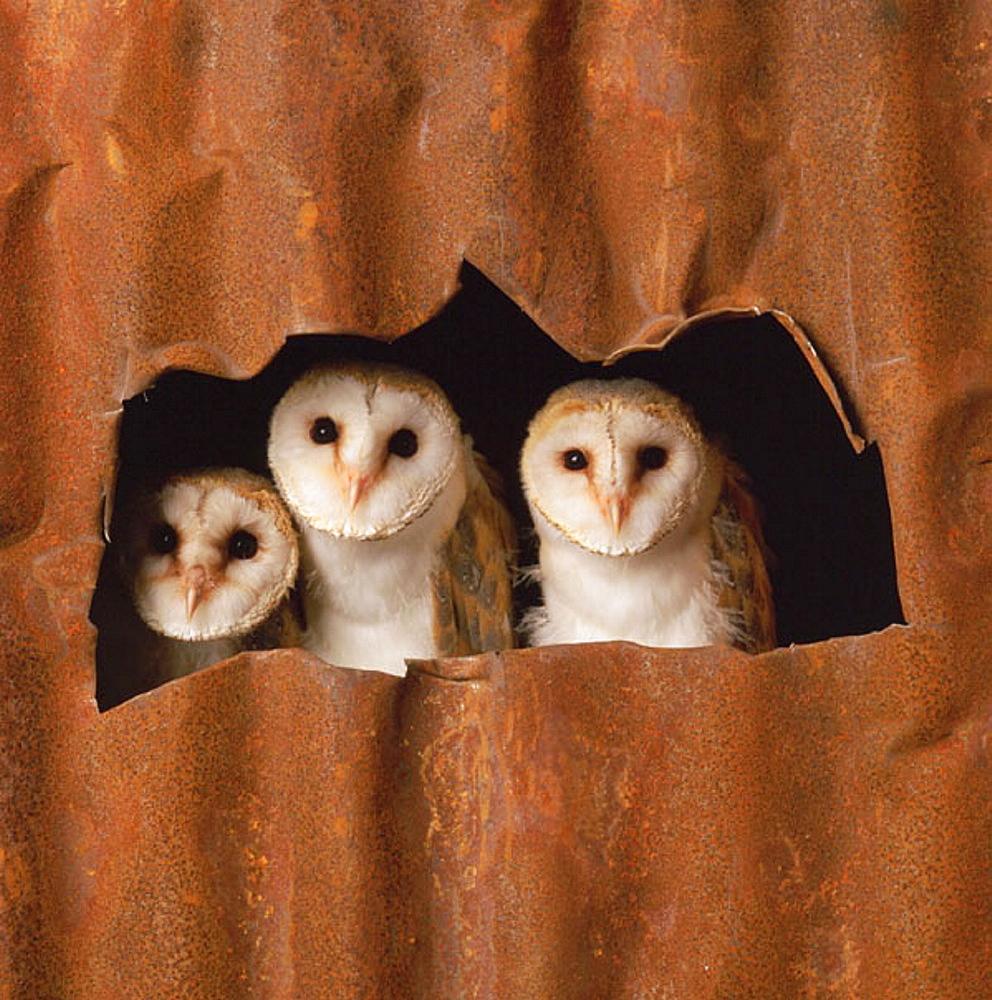 Barn Owls (Tyto alba)