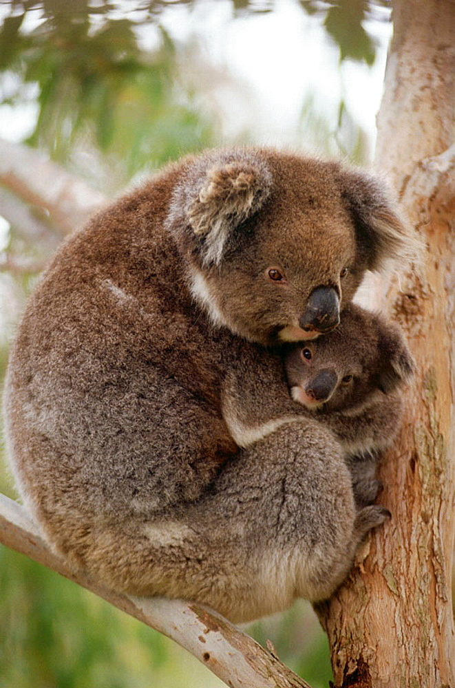 Koalas (Phascolarctos cinereus), mother and young, Australia