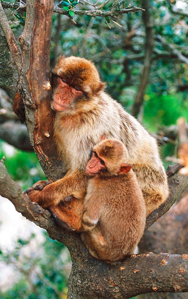 Barbary Macaques (Macaca sylvanus)