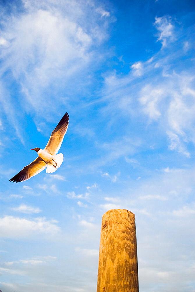 Florida Keys Seagull, USA