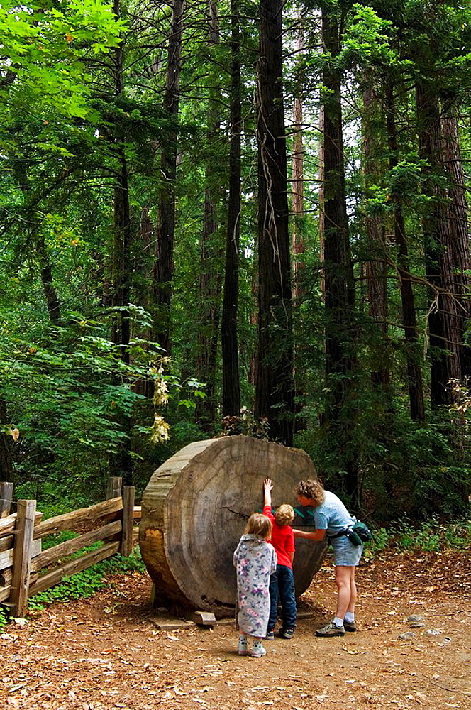 Family looking at cut redwood log section at Pfeiffer Big Sur State Park, Monterey County, California, USA