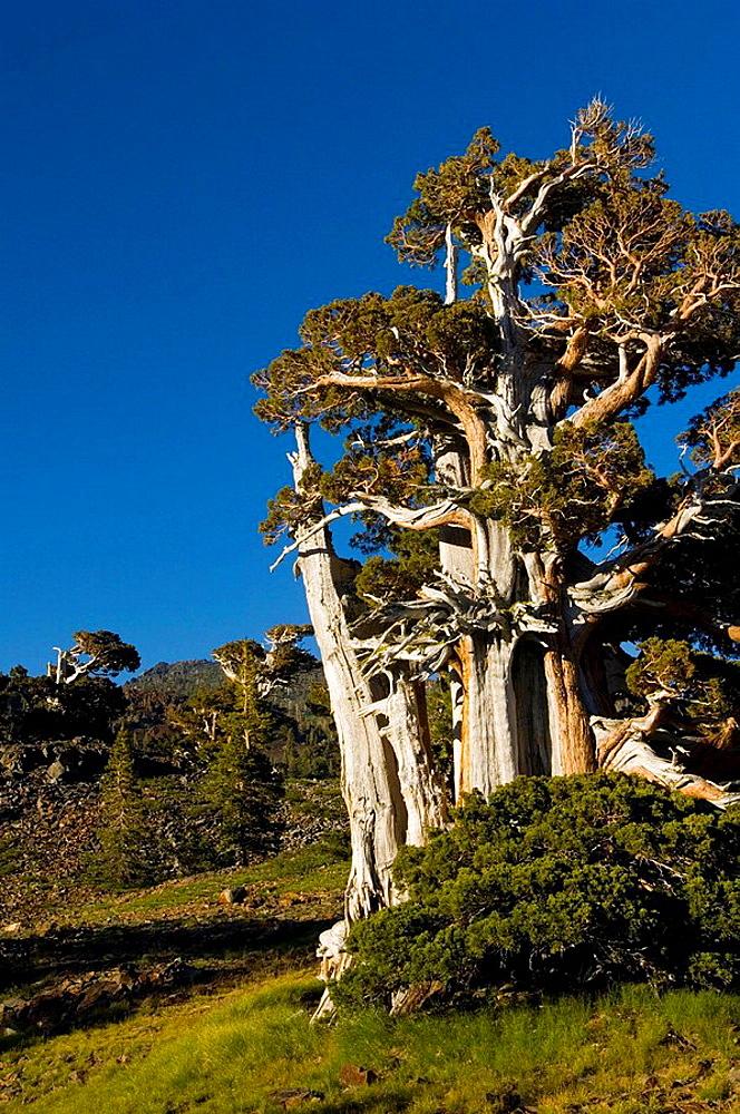 Foxtail Pine pinus balfouriana tree, Desolation Wilderness, El Dorado National Forest, California