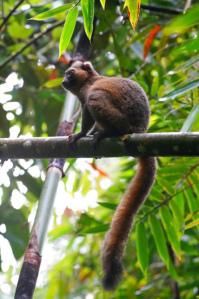 Greater bamboo lemur (Prolemur simus), Parc National de Ranomafana, Ranomafana, Central Madagascar, Africa