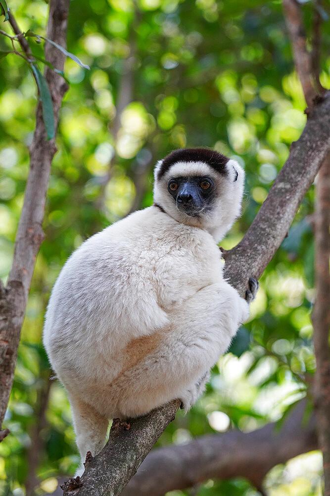 Verreaux's sifaka, Propithecus verreauxi, Isalo National Park, Fianarantsoa province, Ihorombe Region, Southern Madagascar - 819-1053
