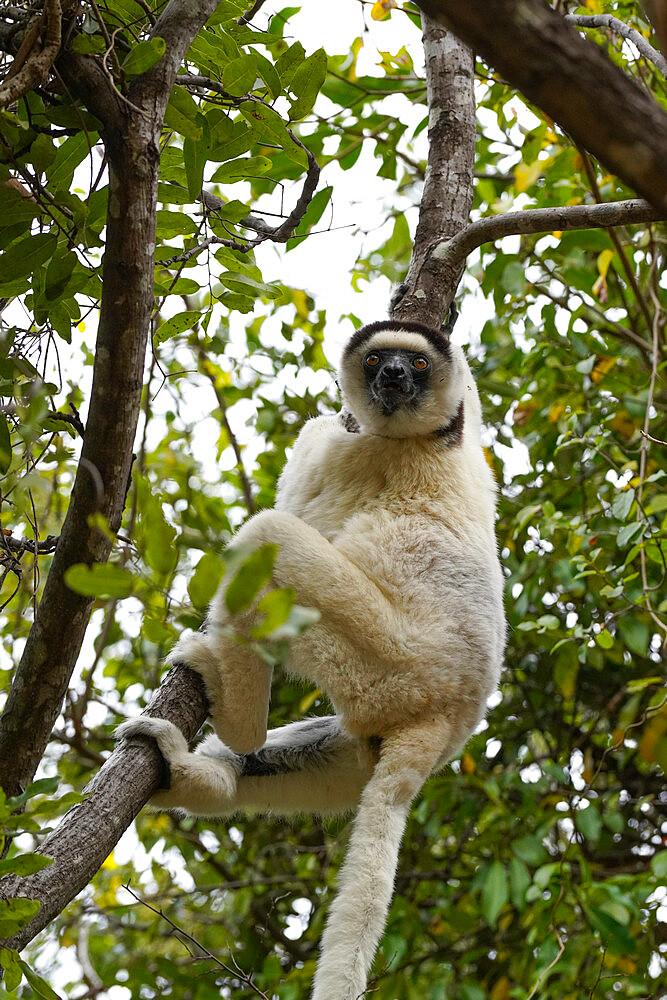 Verreaux's sifaka, Propithecus verreauxi, Isalo National Park, Fianarantsoa province, Ihorombe Region, Southern Madagascar