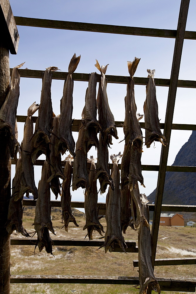 Stockfish, dried cod, hanging on wooden racks (flakes) (hjell) on the seashore, Vesteralen archipelago, Troms Nordland county, Norway, Scandinavia, Europe