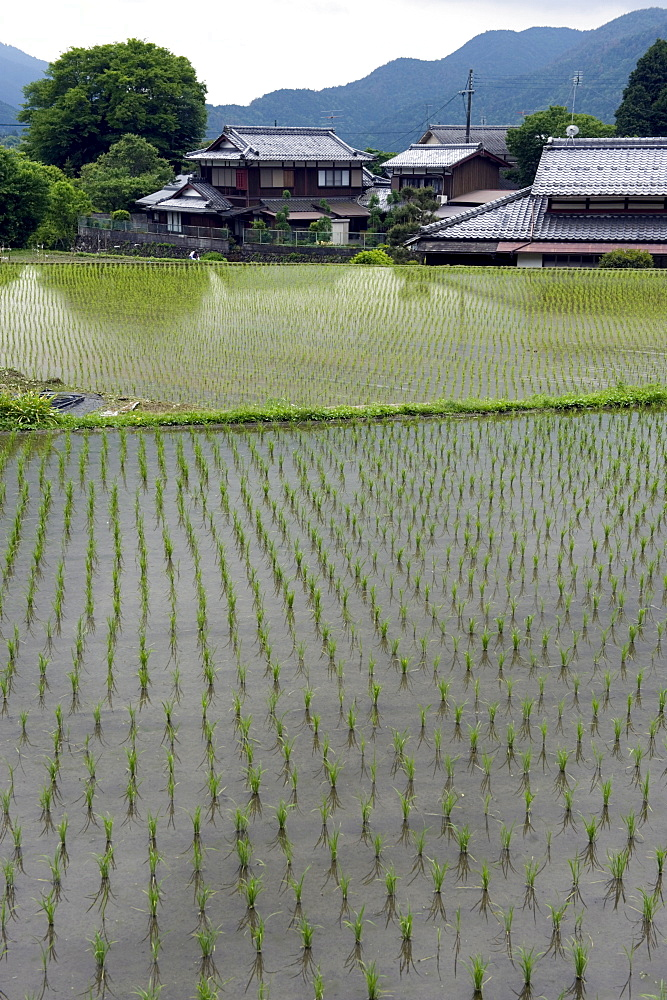 Newly planted rice seedlings in a flooded rice paddy in the rural Ohara village of Kyoto, Japan, Asia - 822-233