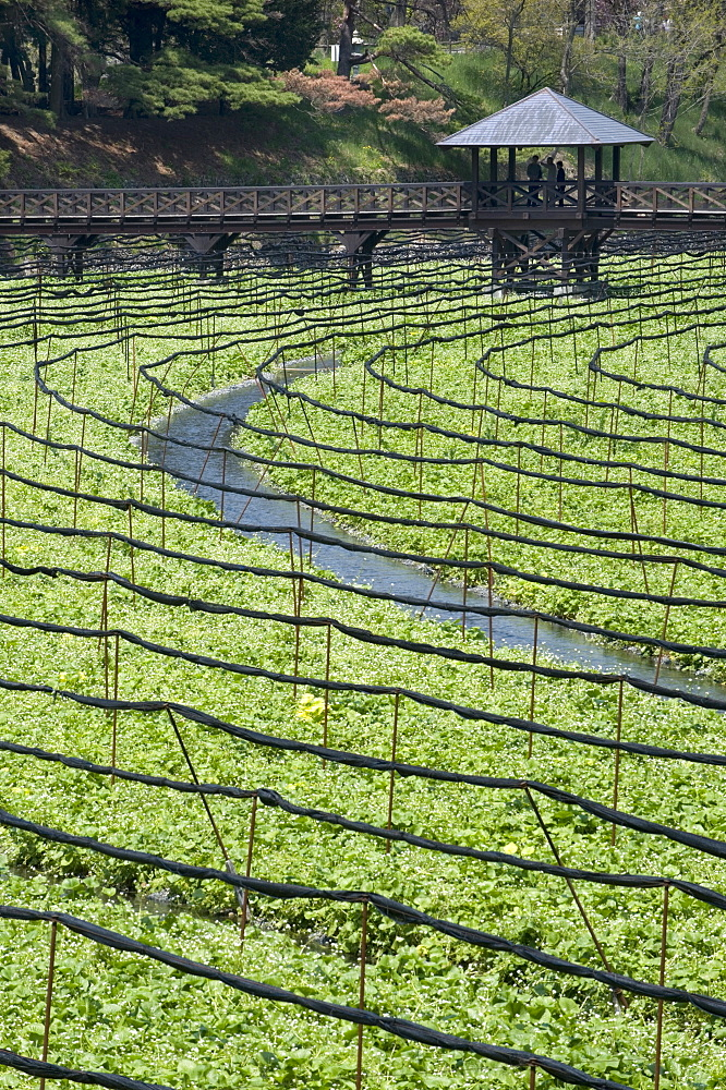 Japanese horseradish plants (wasabi), growing at the Daio Wasabi Farm in Hotaka, Nagano, Japan - 822-64