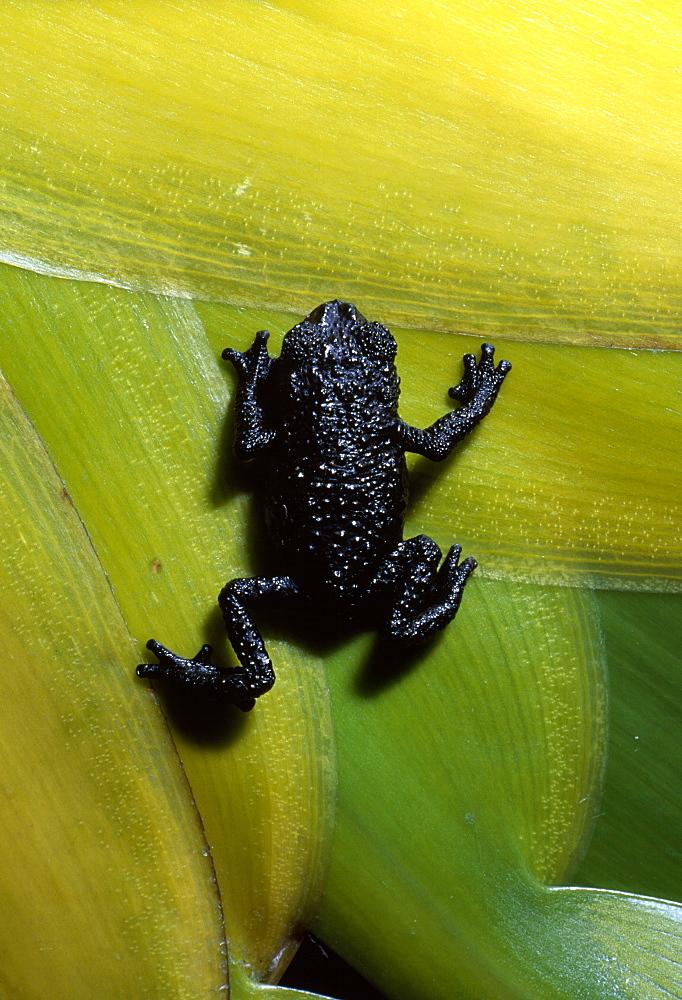Black frog (Oreophrynella quelchii), Roraima summit, Venezuela, South America