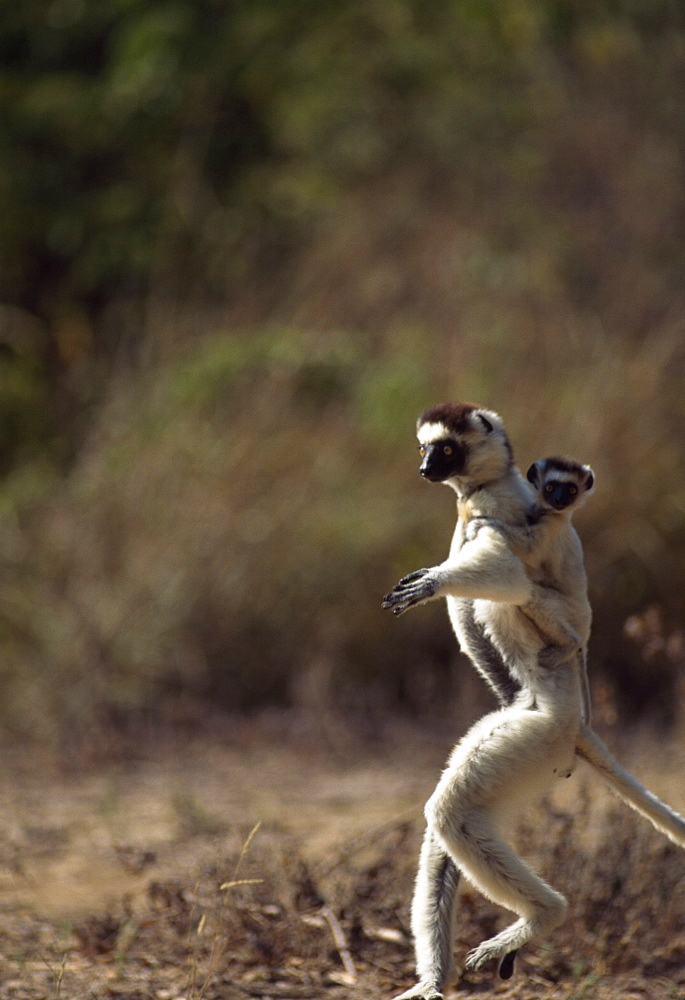 Verreaux's Sifaka (Propithecus verreauxi), mother with baby on back hopping on ground, Berenty Reserve, Southern Madagascar, Africa