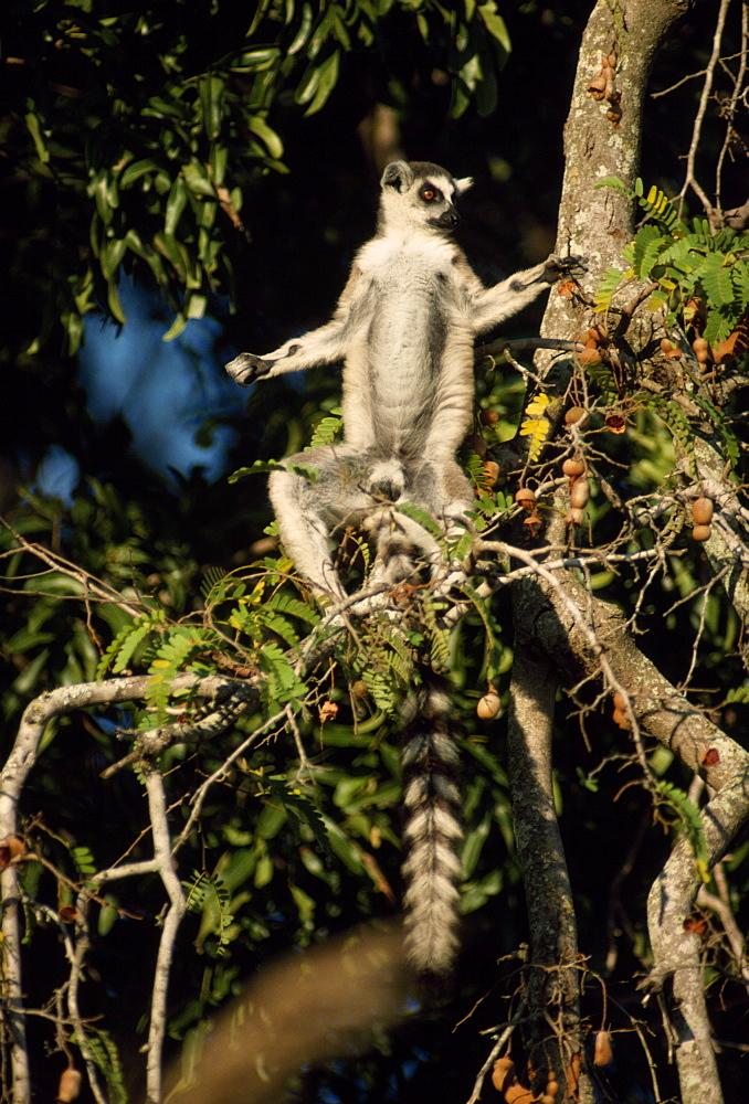 Ring-tailed Lemur (Lemur catta) sunbathing on tamarind tree, Berenty, Southern Madagascar, Africa