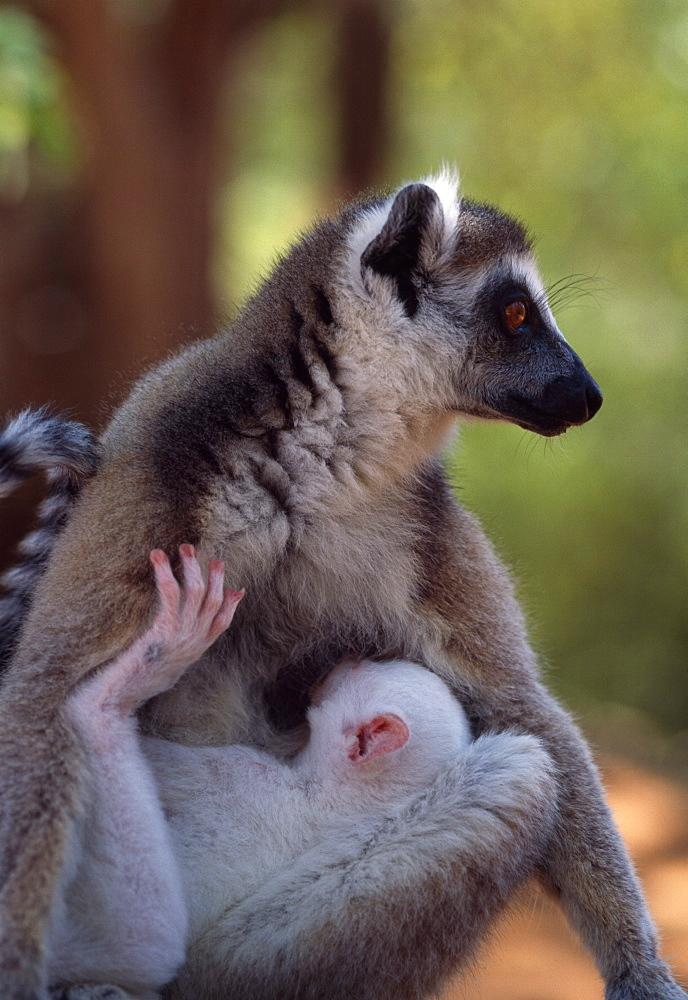 Ring-tailed Lemurs (Lemur catta), all white baby male (Sapphire) albino lemur suckling on mother, Berenty, Southern Madagascar, Africa