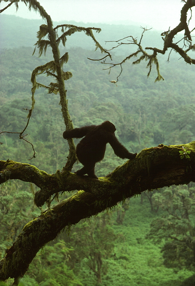 Juvenile Mountain Gorilla (Gorilla g. beringei) on tree, Virunga Volcanoes, Rwanda, Africa - 823-484