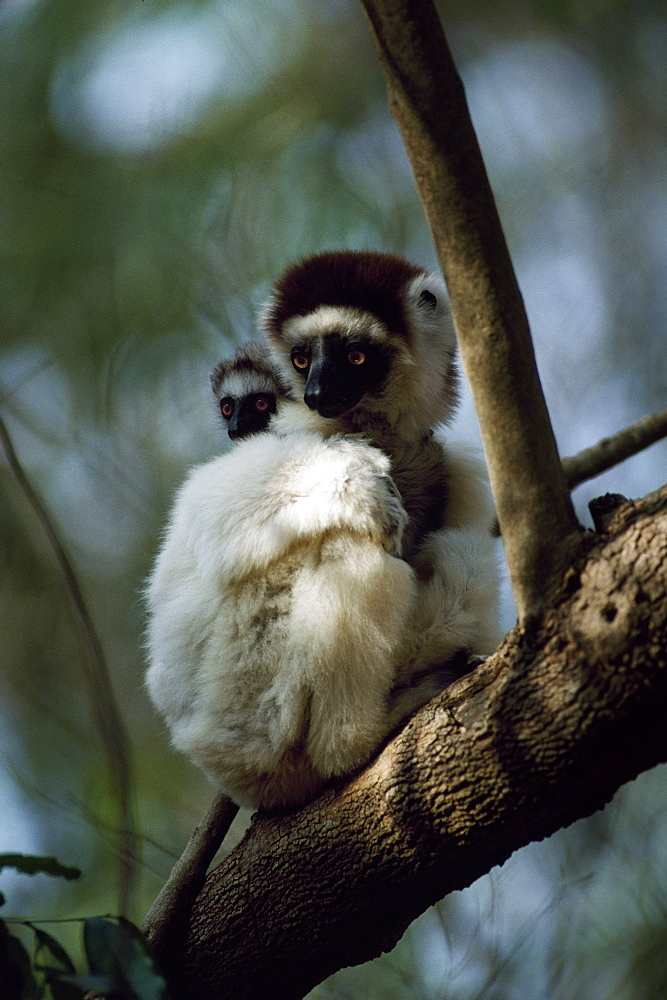 Verreaux's Sifaka (Propithecus verreauxi) mother with baby on back sitting on tree, Berenty Reserve, Southern Madagascar, Africa - 823-542