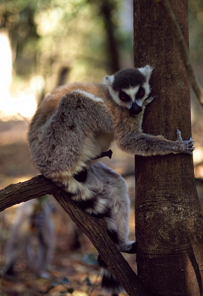 Ring-tailed Lemur (Lemur catta) male with erection on tree, Berenty, Southern Madagascar, Africa - 823-580