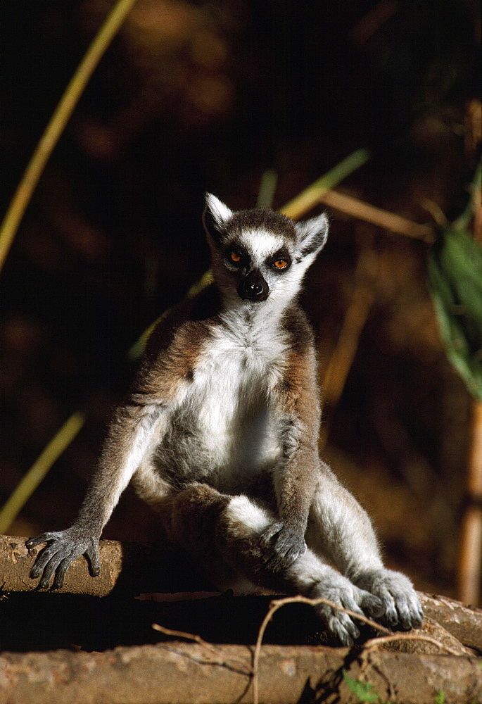 Ring-tailed Lemur (Lemur catta) resting, Berenty, Southern Madagascar, Africa - 823-583