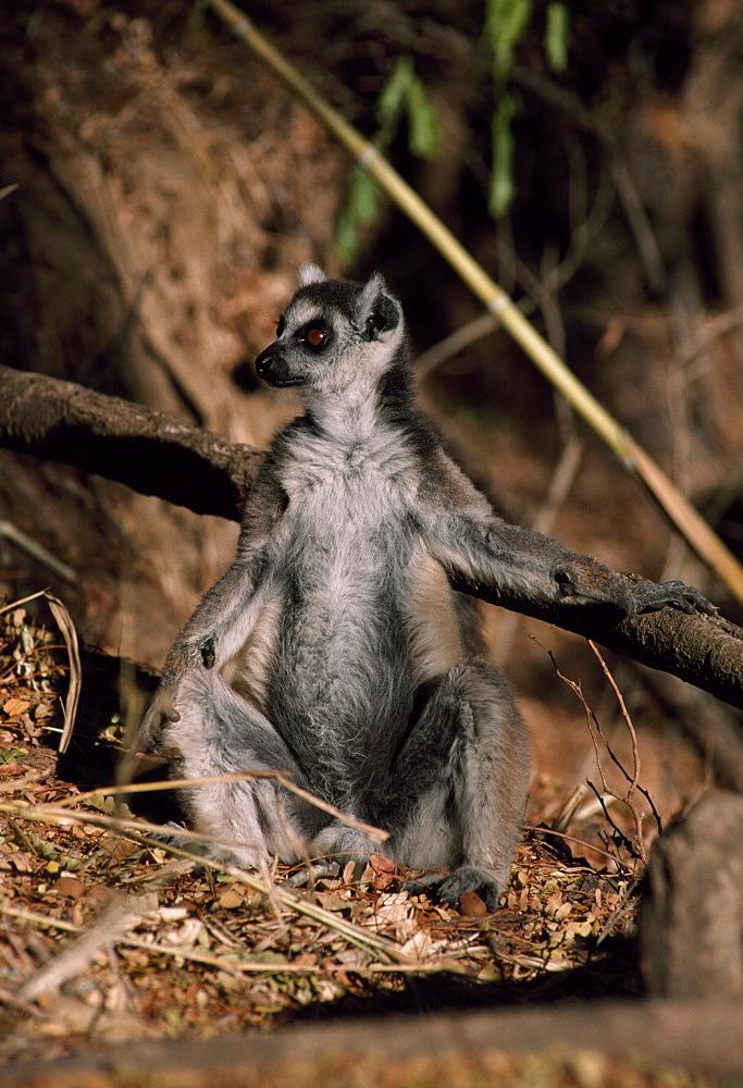 Ring-tailed Lemur (Lemur catta) sunbathing on ground, Berenty, Southern Madagascar, Africa - 823-586