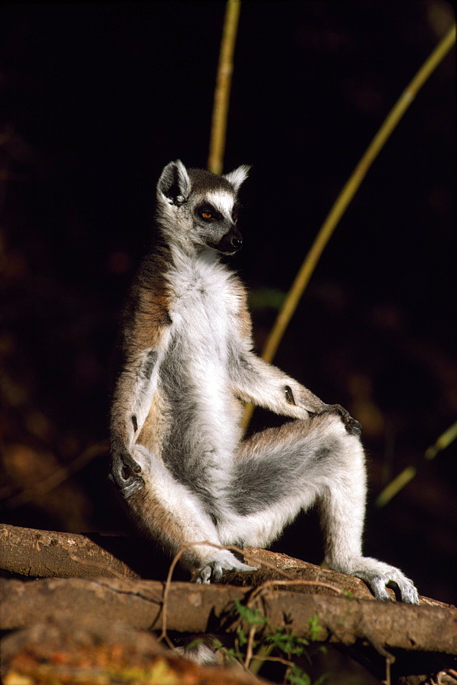 Ring-tailed Lemur (Lemur catta) sunbathing on ground, Berenty, Southern Madagascar, Africa - 823-589