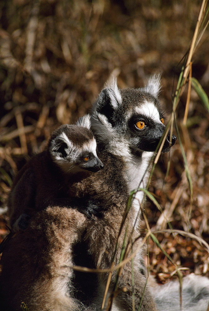 Ring-tailed Lemurs (Lemur catta), mother with baby on back resting, Berenty, Southern Madagascar, Africa - 823-594
