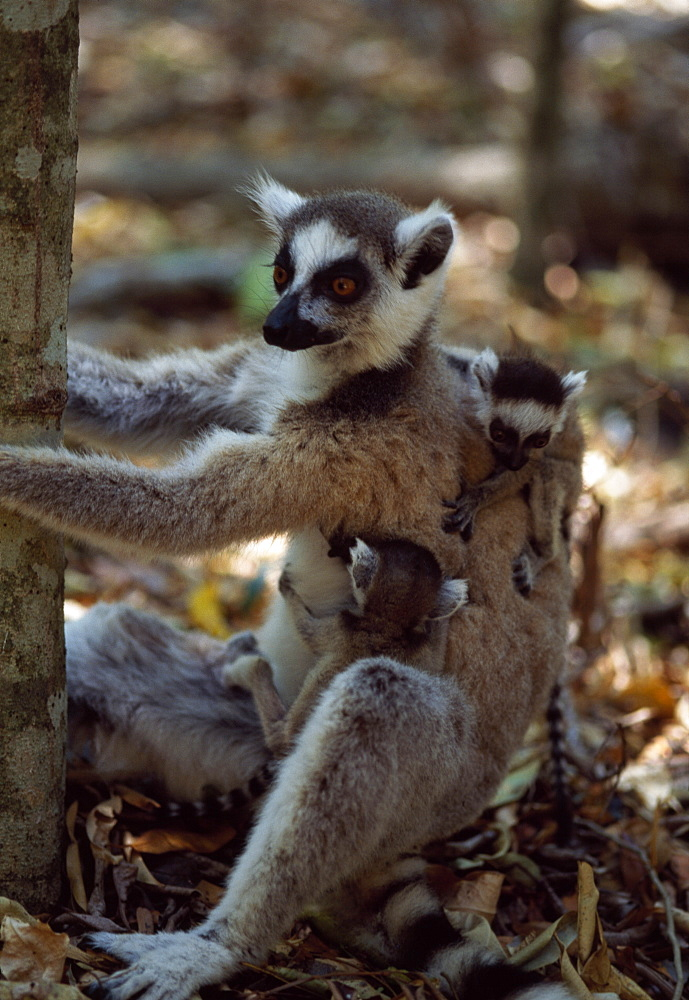 Ring-tailed Lemurs (Lemur catta), mother with twin babies, Berenty, Southern Madagascar, Africa - 823-596