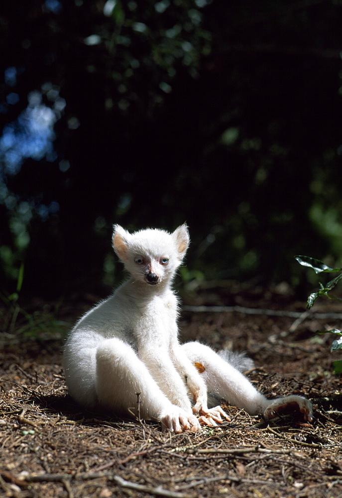 Ring-tailed Lemur (Lemur catta), all white baby male (Sapphire) albino lemur resting on forest floor, Berenty, Southern Madagascar, Africa