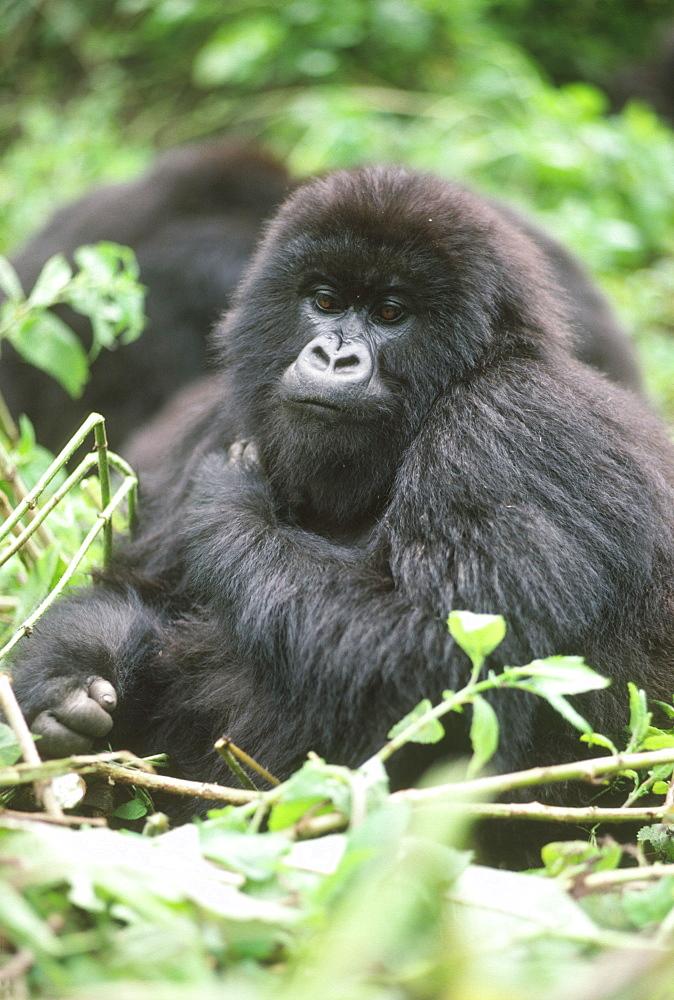 Mountain Gorilla (Gorilla gorilla beringei) young female, Virunga Volcanoes, Rwanda, Africa - 823-605