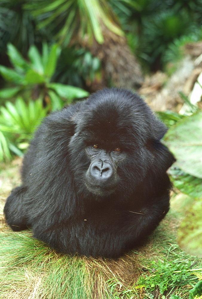 Mountain Gorilla (Gorilla gorilla beringei) blackback male in sub-alpine zone, Virunga Volcanoes, Rwanda, Africa - 823-608
