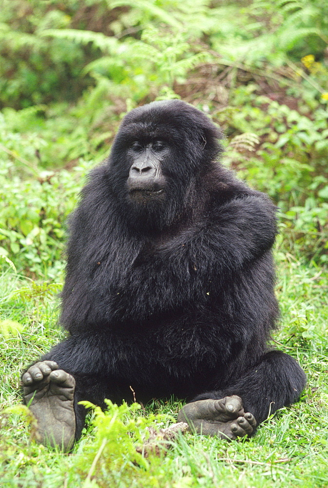 Mountain Gorilla (Gorilla gorilla beringei) young female, Virunga Volcanoes, Rwanda, Africa - 823-613