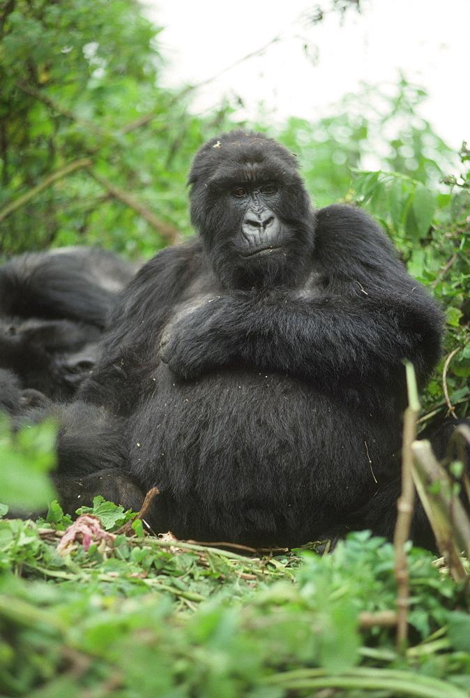 Mountain Gorilla (Gorilla gorilla beringei) blackback male, Virunga Volcanoes, Rwanda, Africa - 823-614