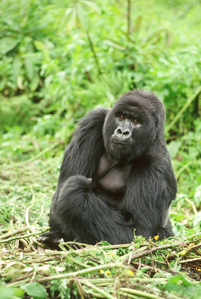 Mountain Gorilla (Gorilla gorilla beringei) silverback male, Virunga Volcanoes, Rwanda, Africa - 823-620