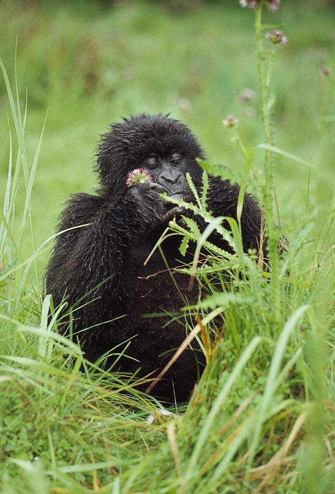 Mountain Gorillas (Gorilla g. beringei) young female feeding, Virunga Volcanoes, Rwanda, Africa - 823-622