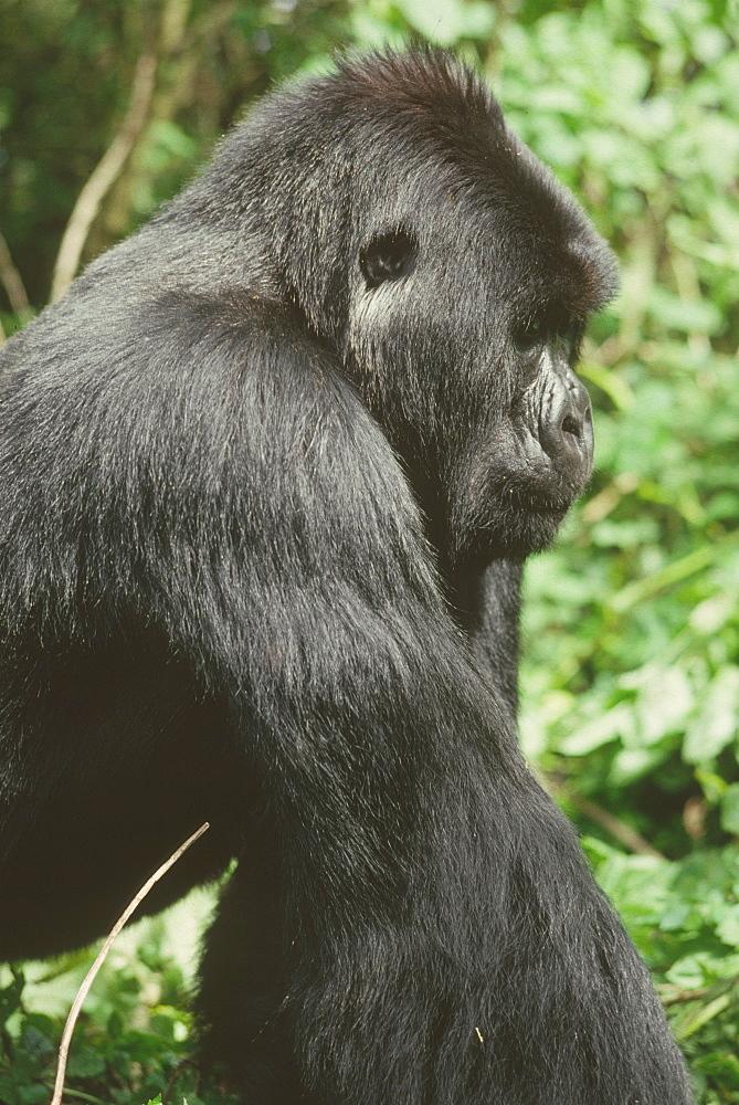 Mountain Gorilla (Gorilla gorilla beringei) young silverback male, Virunga Volcanoes, Rwanda, Africa - 823-625