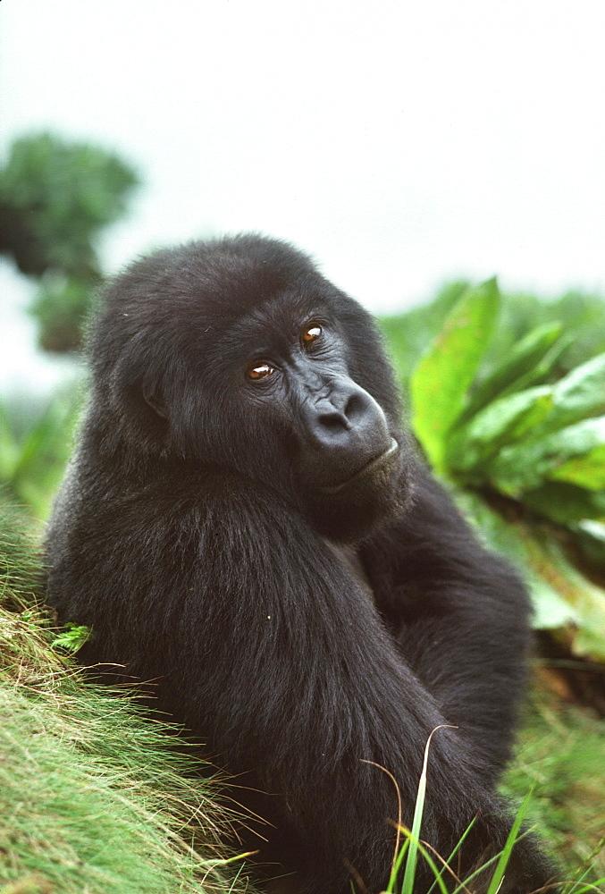 Mountain Gorilla (Gorilla gorilla beringei) blackback male in sub-alpine zone, Virunga Volcanoes, Rwanda, Africa - 823-626