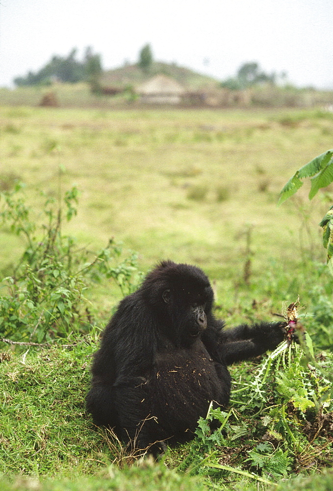 Mountain Gorillas (Gorilla gorilla beringei) juvenile feeding on thistle outside the park, Virunga Volcanoes, Rwanda, Africa - 823-629