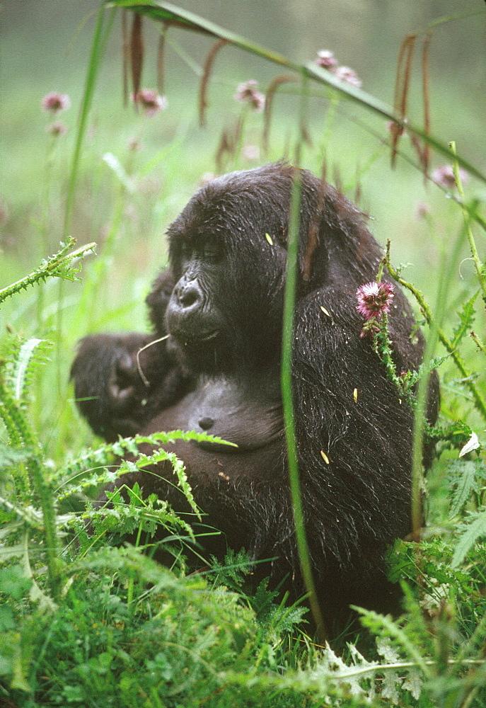 Mountain Gorilla (Gorilla gorilla beringei) young female feeding on thistle, Virunga Volcanoes, Rwanda, Africa - 823-630