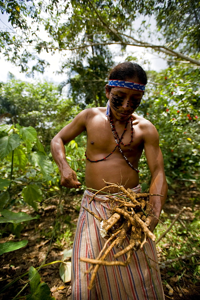 Collecting barbasco, a poisonous root used for fishing, Amazon, Ecuador, South America - 824-101