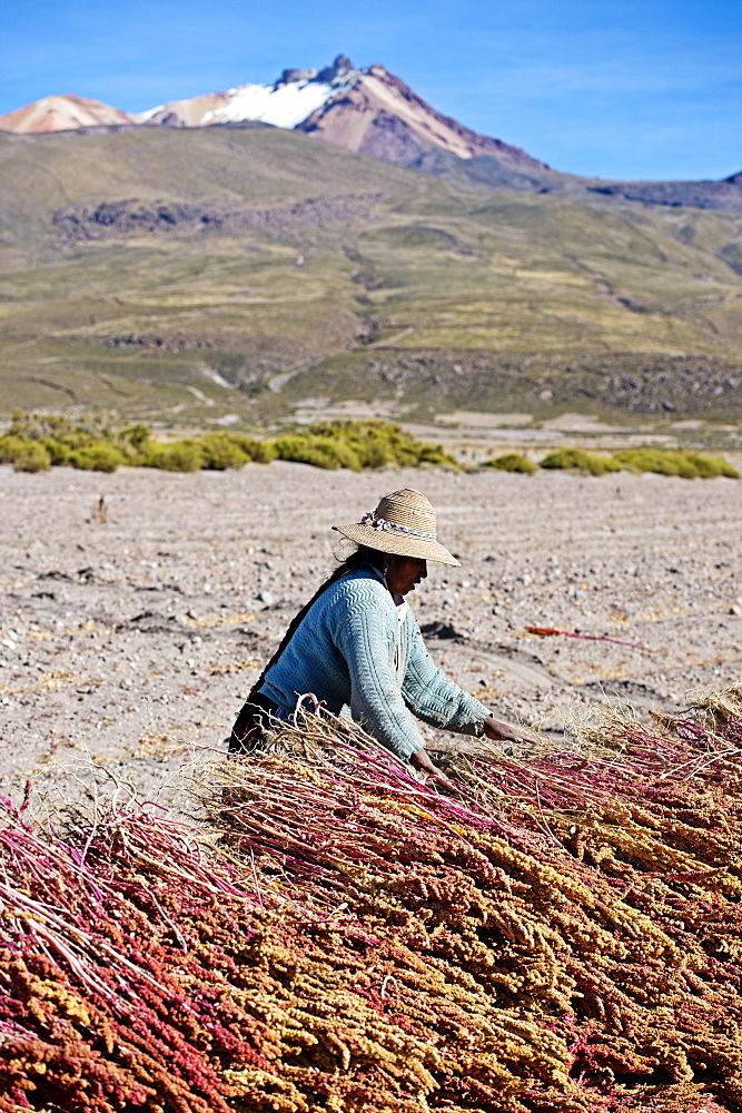 Farming quinoa, a super food, on the Bolivian Altiplano, Bolivia, South America  - 824-129
