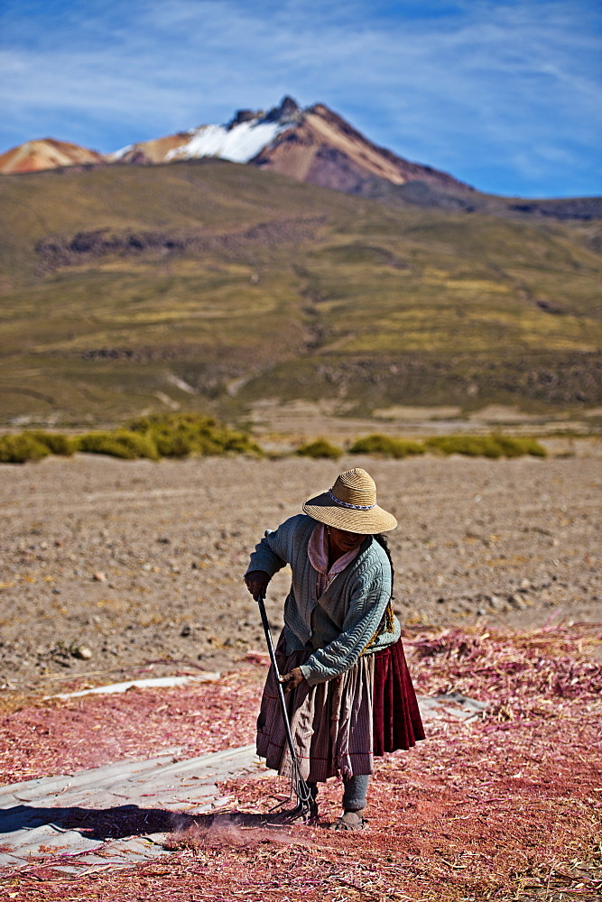 Farming quinoa, a super food, on the Bolivian Altiplano, Bolivia, South America  - 824-130