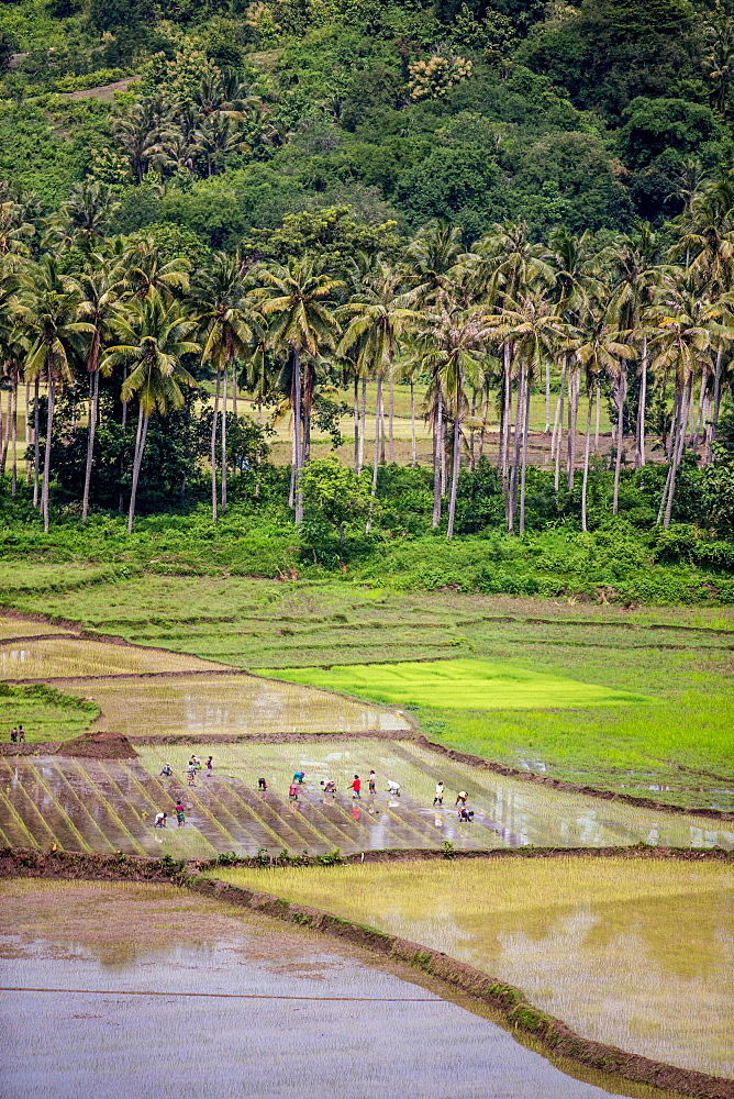 Paddy farmers at work in rice fields, Sumba, Indonesia, Southeast Asia, Asia - 824-142