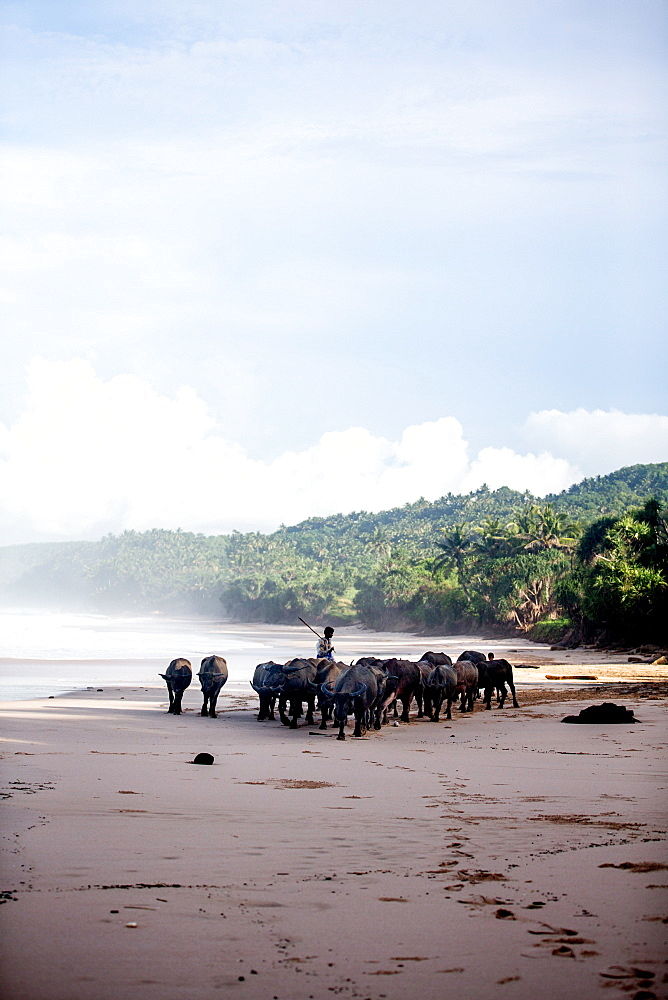 Buffalo herders on the beach in Sumba, Indonesia, Southeast Asia, Asia - 824-143