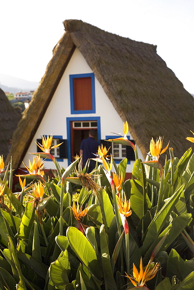 Bird of Paradise flowers bloom in front of a traditional thatched Palheiro A-frame house in the town of Santana, Madeira, Portugal, Europe