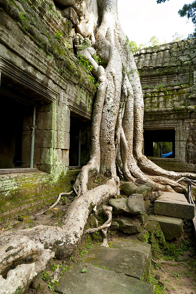 Kapok tree growing in the ruins of Preah Khan Temple, UNESCO World Heritage Site, Angkor, Siem Reap, Cambodia, Indochina, Southeast Asia, Asia - 827-518